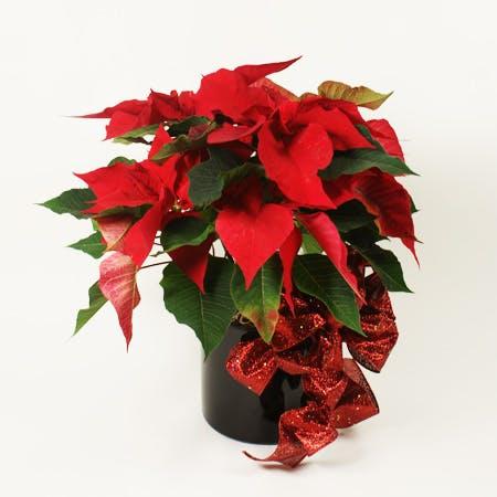XL Red Poinsettia Plant