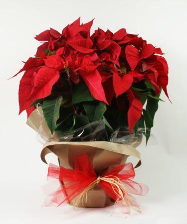 XXL Red Poinsettia Plant
