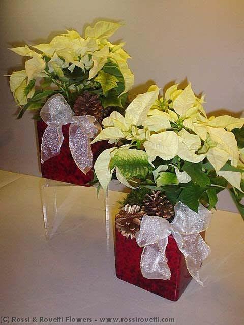 XL White Poinsettia Plant