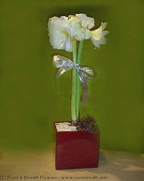 Amaryllis Plant and Container