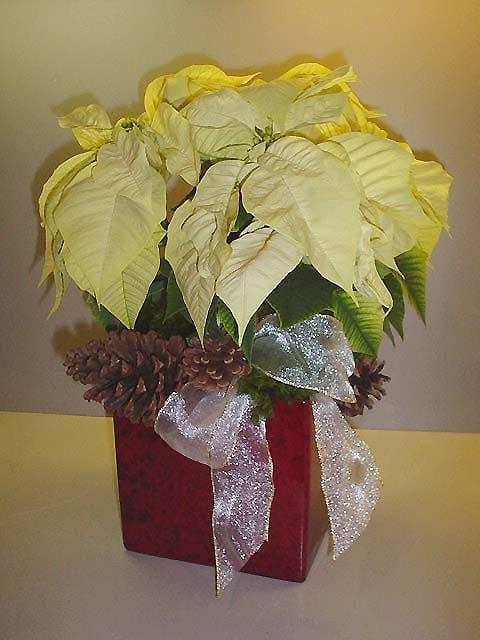 XXL White Poinsettia Plant
