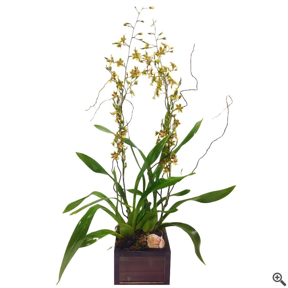 Oncidium Orchid Plant