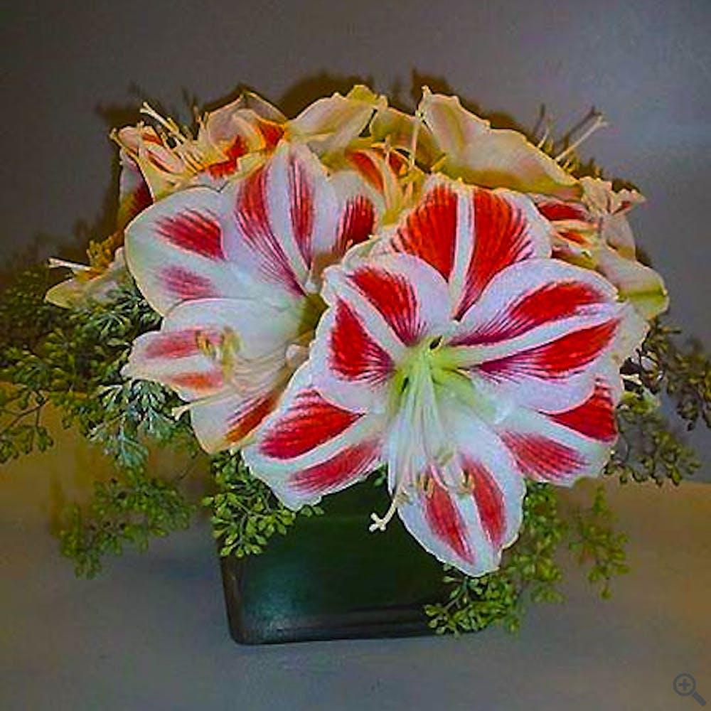 Candy Cane Amaryllis Flower Arrangement