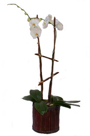 Double Phalaenopsis Orchid Planter | San Francisco Florist Since 1871 Free Bay Area and San Francisco Flower Delivery