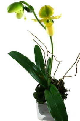 Lady's Slipper Orchid Plant - (Paphiopedilum)