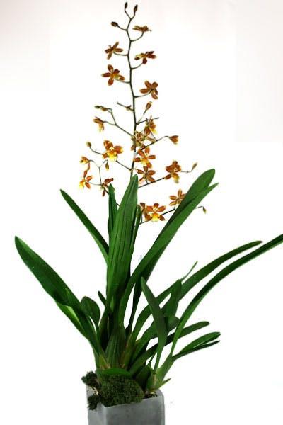Oncidium Hybrid Orchid Plant