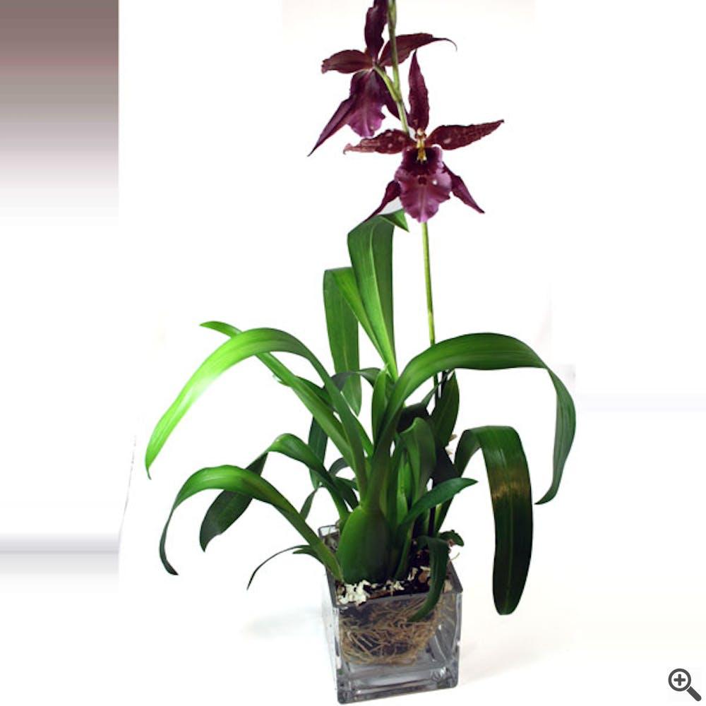 Royal Cattleya Orchid Plant