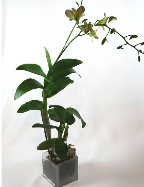 Boutique Dendrobium Orchid Plant