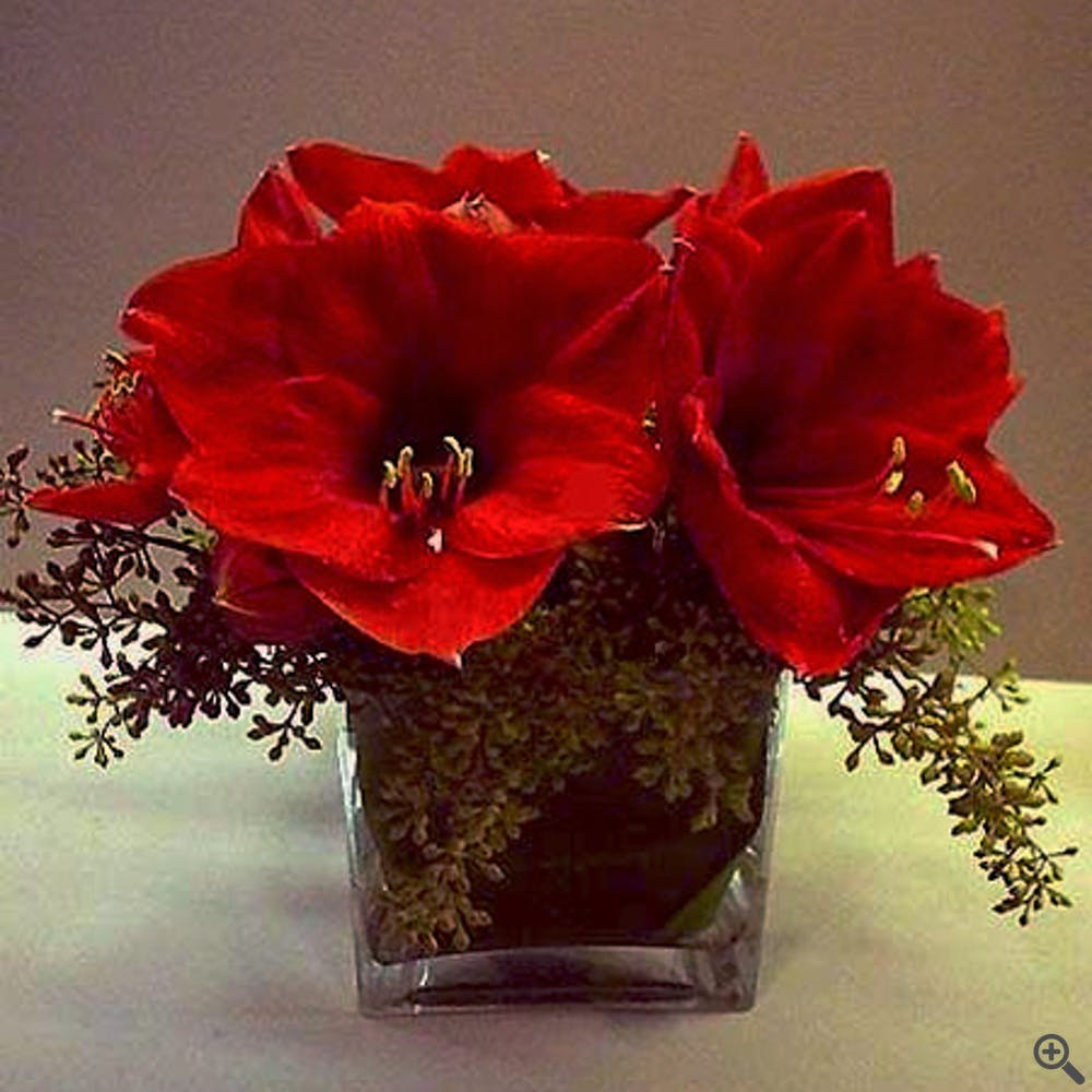 Holiday Red Amaryllis Flower Arrangement
